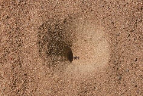 myrmeleontidae-larval-pit